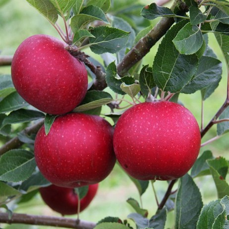 Apple (Malus) Rosette Step-Over 12L (M27) Fruit Tree - Direct Dispatch