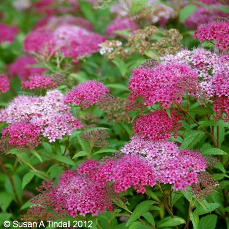 Spiraea Anthony Waterer 3L