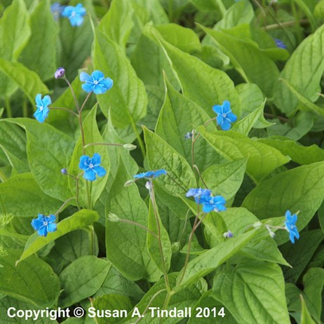 Omphalodes Verna Perennial in a 9cm Pot
