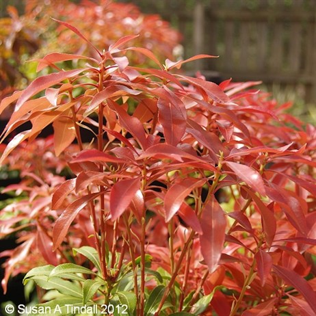 Pieris Mountain Fire 5L