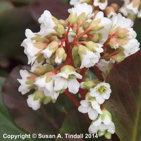 Bergenia 'Bressingham White' Perennial in a 2L Pot