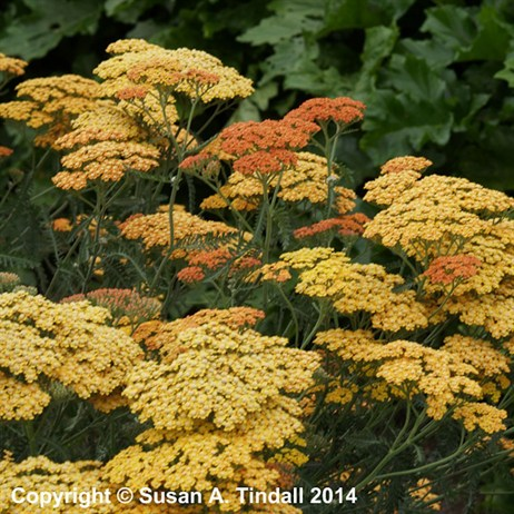 Achillea 'Terracotta' Perennial in a 2L Pot