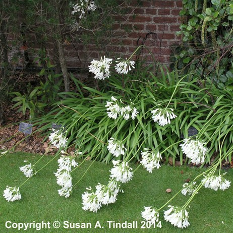 Agapanthus Polar Ice Perennial in a 2L Pot