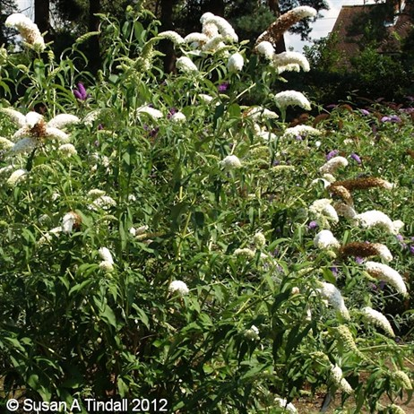 Buddleia White Profusion 3L