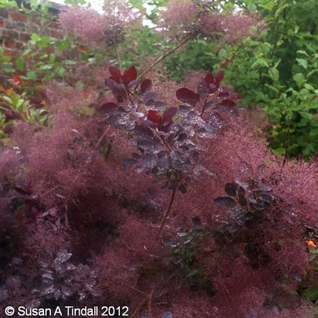 Cotinus Royal Purple 3L