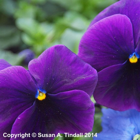 Pansy F1 Fruits Of The Forest 6 Pack Boxed Bedding
