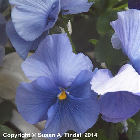Pansy F1 Spring Rapids 6 Pack Boxed Bedding