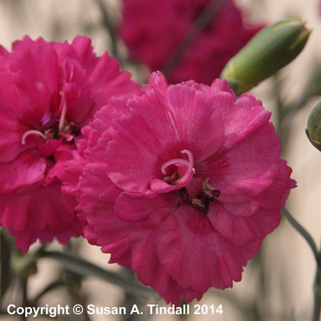 Dianthus Devon Wizard Perennial in a 2L Pot