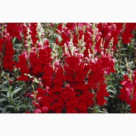 Antirrhinum F1 Coronette Crimson 12 Pack Boxed Bedding