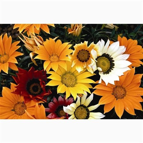 Gazania Daybreak 6 Pack Boxed Bedding