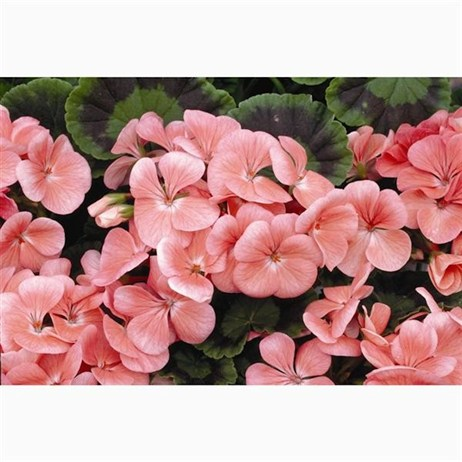 Geranium Maverick Salmon 6 Pack Boxed Bedding