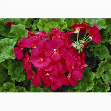 Geranium Maverick Violet 6 Pack Boxed Bedding