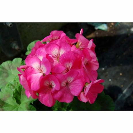 Geranium Maverick Rose 6 Pack Boxed Bedding