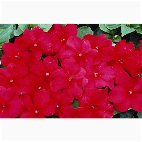 Impatiens F1 Red 6 Pack Boxed Bedding