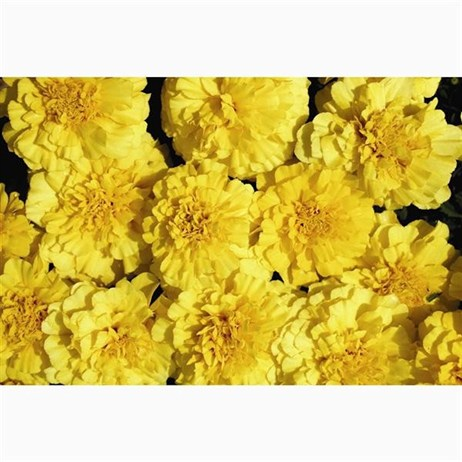 Marigold Durango Yellow 12 Pack Boxed Bedding