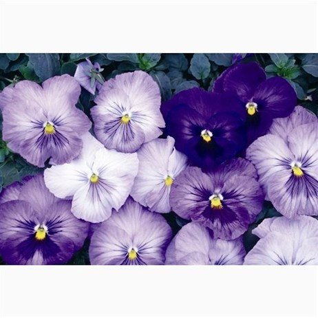 Pansy F1 Lavender Shades 6 Pack Boxed Bedding