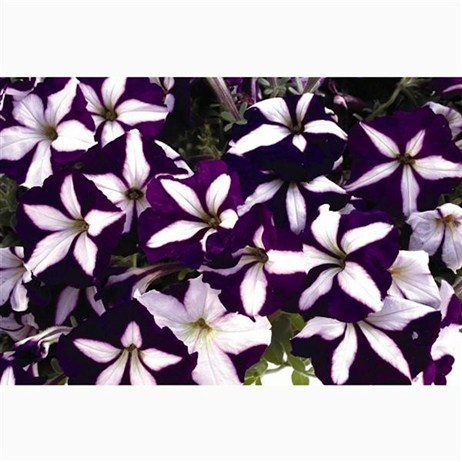 Petunia F1 Frenzy Blue Star 12 Pack Boxed Bedding