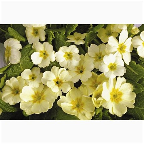 Primrose Soft Yellow 6 Pack Boxed Bedding