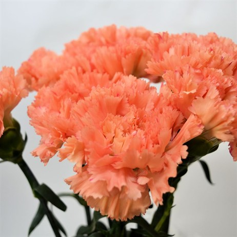Carnation (x 8 stems) - Orange