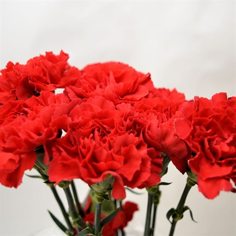 Carnation (x 8 stems) - Red