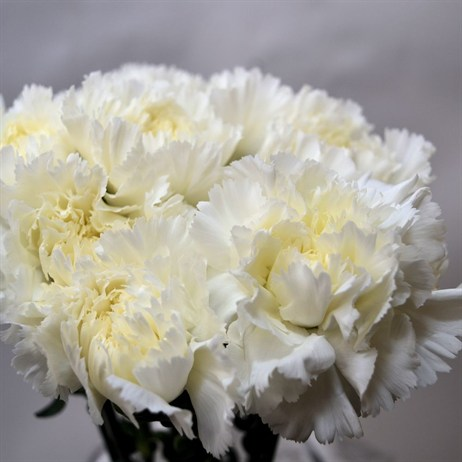 Carnation (x 8 stems) - White