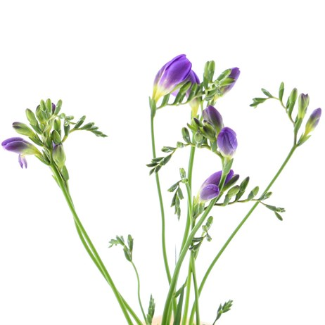 Freesia (x 7 stems) - Purple