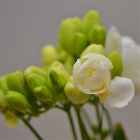 Freesia (x 7 stems) - White