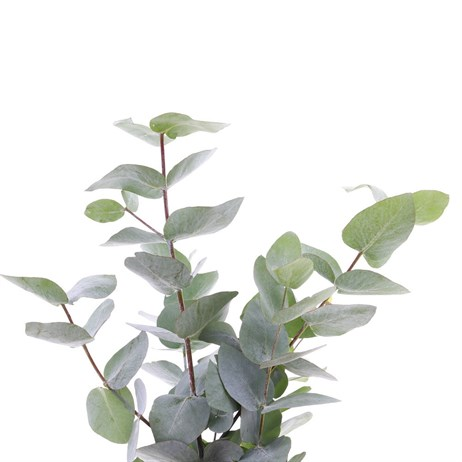 Greenery Eucalyptus Cinerea (x 3 Bunch)