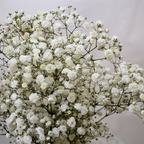 Gypsophilia Large Bloom (x 5 stems)