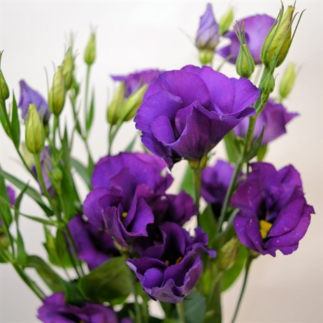 Lisianthus (x 4 stems) - Blue