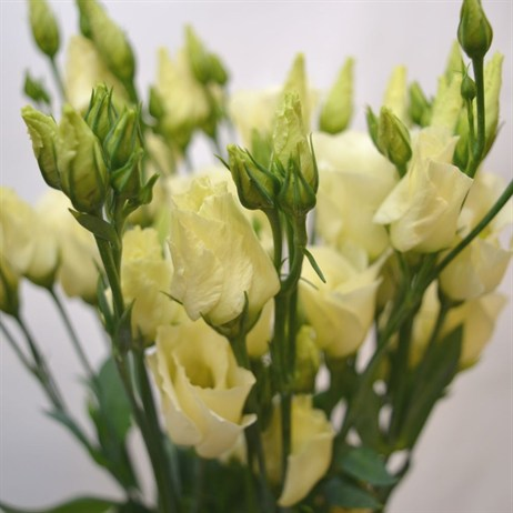 Lisianthus (x 4 stems) - Yellow