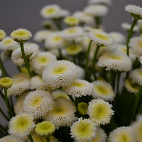 Matricaria (x 5 stems) - White