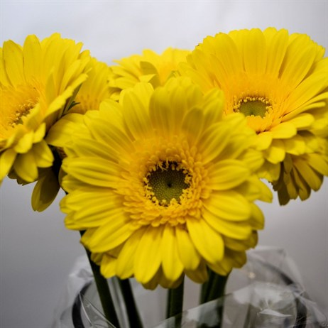 Mini-Gerbera (x 8 stems) - Yellow