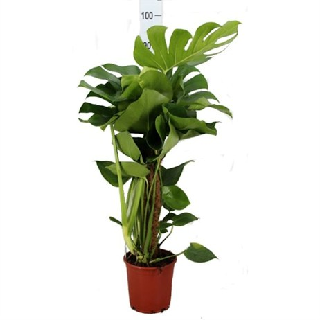 Monstera deliciosa (Swiss Cheese Plant) Houseplant in a 32cm Pot