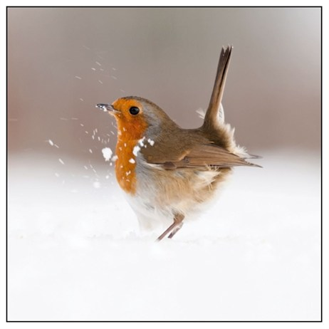 Noel Tatt 8  Pack Charity Christmas Cards - Robin in Snow - 16cm (41518)