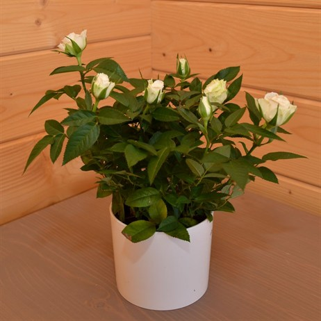 Rose Houseplant White With White Pot - Medium