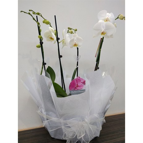 Orchid White (Phalaenopsis) Double Stem Houseplant In Black Plastic Boat Gift Wrapped - 60 to 70cm