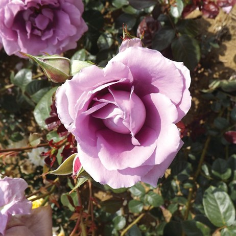 Harry Edland Bush Rose 3.5Lt