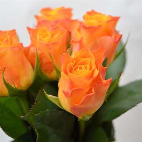 Rose Long Stem (x 5 Stems) - Orange