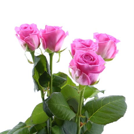 Rose Long Stem (x 5 Stems) - Pink