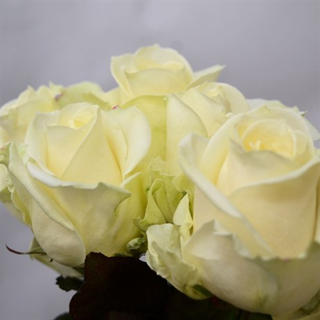 Rose Long Stem (x 5 Stems) - White