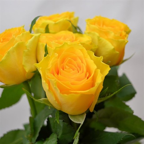 Rose Short Stem (x 6 stems) - Yellow