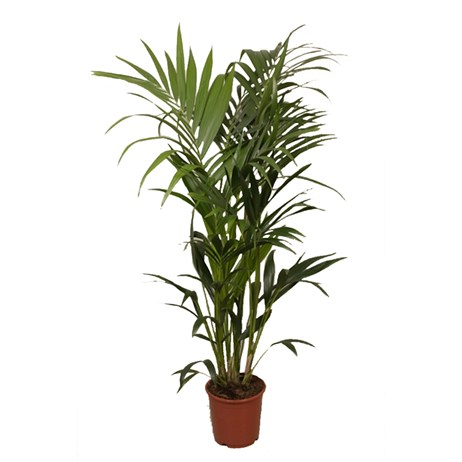 Howea Fosteriana (Kentia) Houseplant 24cm Pot