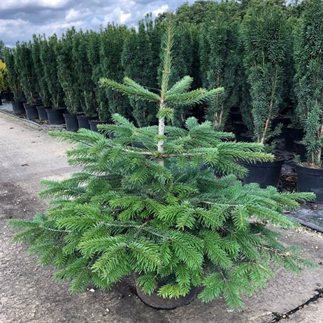 Abies Nordmanniana 10L Real Pot Grown Christmas Tree