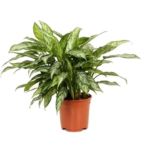 Aglaonema Silver Queen Compact Houseplant 14cm Pot
