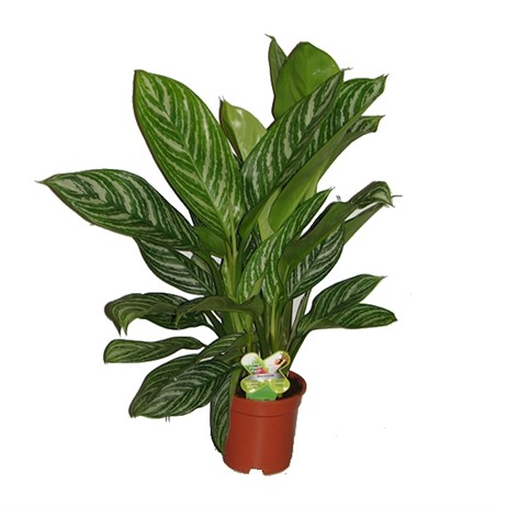 Aglaonema Stripes Houseplant 26cm Pot