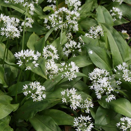 Allium Ursinum 'Wild Garlic' - 2L Pot