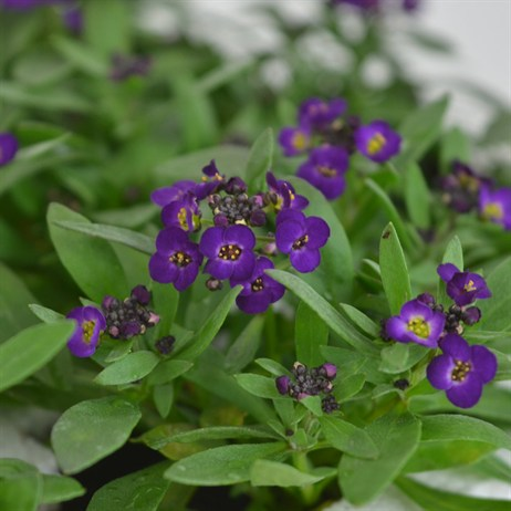 Alyssum Violet Queen 12 Pack Boxed Bedding