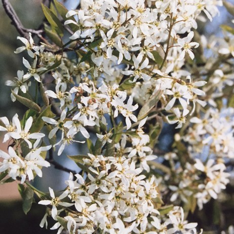 Amelanchier 'Lamarckii' Tree
