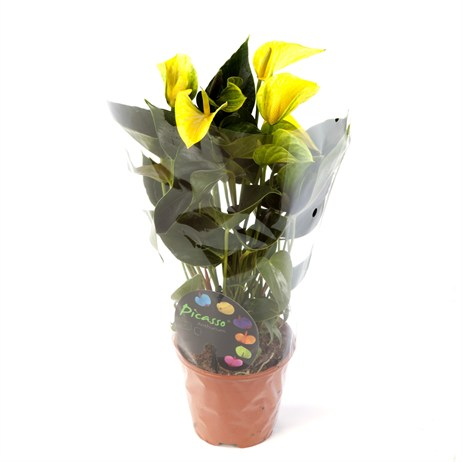 Anthurium Andr Picasso Yellow - 14cm X 45cm Pot
